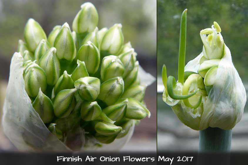 Finnish Air Onion - Tree Onion Flower Heads