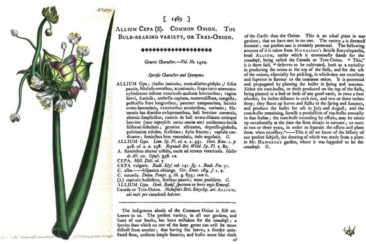 Tree Onion 1812