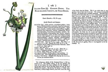 Tree Onion Plate 1469 - Curtis's Botanical Magazine