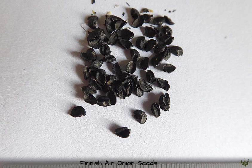 Finnish Air Onion Seeds
